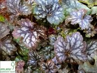 Гейхера 'Марвелос Марбл' - Heuchera 'Marvelous Marble'