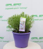 Лаванда вузьколиста 'Літл Леді' - Lavandula angustifolia 'Little Lady'