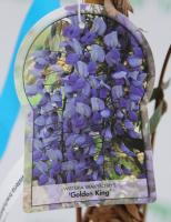 Гліцинія 'Голден Кінг' - Wisteria 'Golden King'