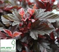 Пухироплідник калинолистий 'Літл Енджел' - Physocarpus opulifolius 'Little Angel'