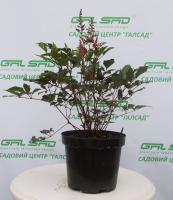 Астільба 'Бургунді Ред' - Astilbe 'Burgundy Red'