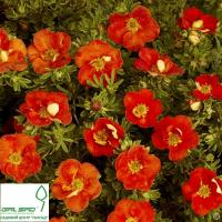 Лапчатка кущова 'Ред Айс' - Potentilla fruticosa 'Red Ace'