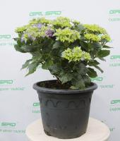 Гортензія крупнолиста 'Ерлі Блю' - Hydrangea macrophylla 'Early Blue'