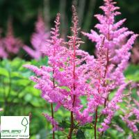 Астільба 'Брессінгем Бьюті' - Astilbe 'Bressingham Beauty'